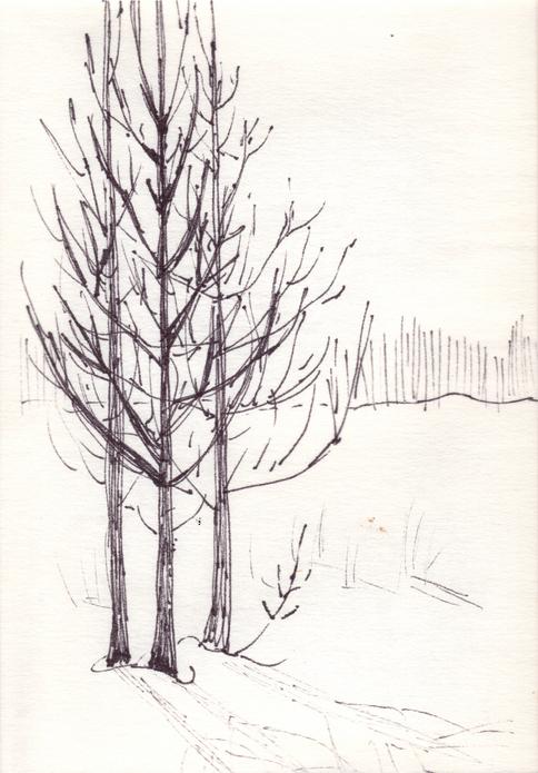 3 Dead Cedars Casting Shadows In Late Febuary Sun