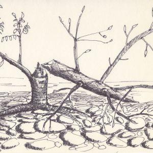 Beaver Eaten Sappling at Rush Cove